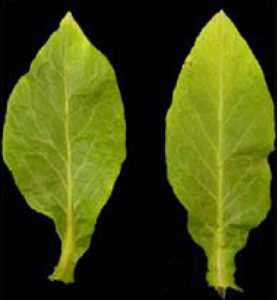 PHAN and compound leaf morphology