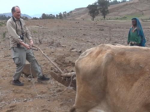 Leaning bullock plowing in Ethiopia