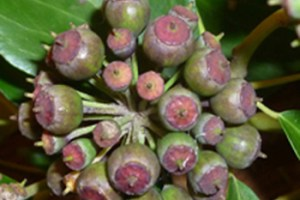 Mineral nutrient stoichiometry of Hedera seeds
