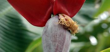 Epigenetic regulation gives diversity in triploid bananas