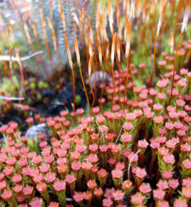 Bryophytes and the evolution of early land plants