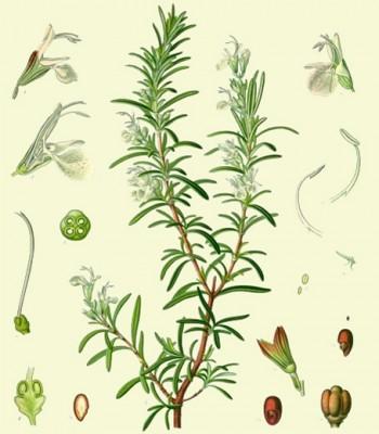 Image: L. Müeller/C.F. Schmidt, Köhler's Medizinal-Pflanzen, edited by Gustav Pabst, 1887.