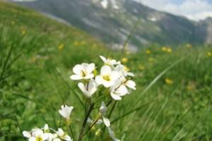 Contemporary gene flow in Arabis alpina