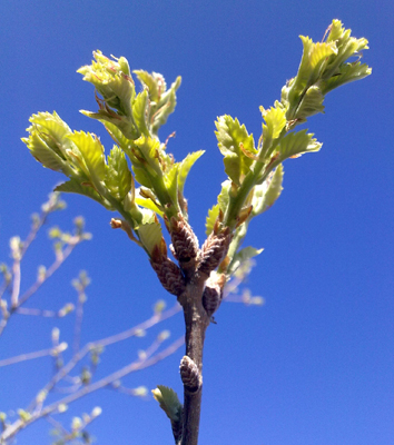 Seasonal and inter-annual bud development in oak species