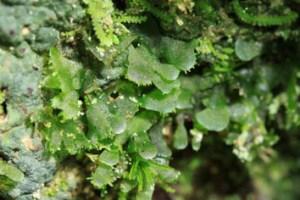 DNA identification of vittarioid gametophytes in the field