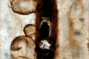 Tylosis formation in a fossil conifer