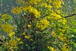 C3–CAM plasticity in epiphytic orchids