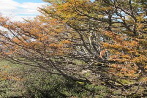Carbon budgets in deciduous and evergreen treeline species