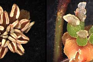 Male (left) and female (right) flowers of Amborella trichopoda,