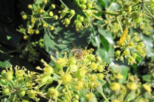 Insects on ivy flowers