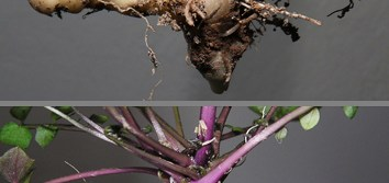 Nutrient reserves in geophytes may allow genome size increase