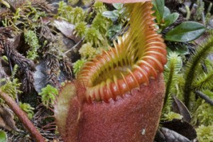 Climate and capture mechanism in pitcher plants