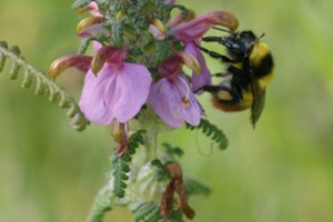 Avoidance of interspecific pollen transfer in Pedicularis