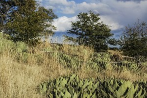 Genetic and morphological signature of ancient Agave cultivation