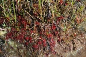 Trithuria bibracteata
