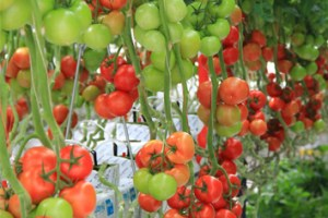 Diffuse light and increased yield in tomato