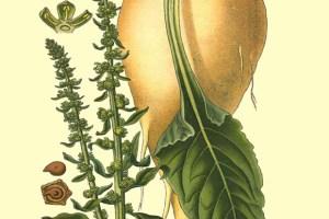 Image: Amédée Masclef, Atlas des Plantes de France, Paris: 1891.