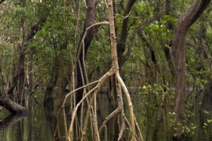Biomechanics of rhizophores in Rhizophora mangroves