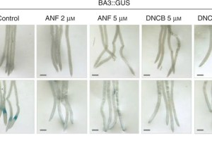 Inhibitors of NTR activity interfere with auxin response. Arabidopsis thaliana transgenic plants expressing the BA3::GUS and DR5::GUS genes were grown in ATS-agar for 4d.
