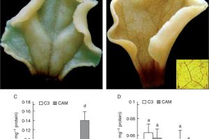 Visualization of H2O2 by DAB staining in detached leaves of C3 (A) and CAM (B) plants, and APX (C) and CAT (D) activities in leaf laminae and midribs.