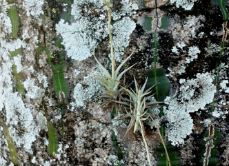 Two individuals of Tillansia loliacea growing in the trunk of Pseudobombax tomentosum, a deciduous tree with reticulated trunk.  (Photo credit: Davi Rodrigo Rossatto)