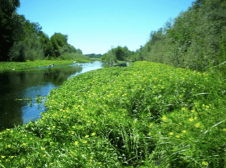 Ludwigia hexapetala (Uruguayan primrose-willow) invasion in the Russian River at Asti, California.