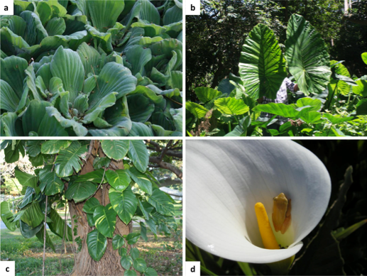 A global assessment of a large monocot family highlights the need for group-specific analyses of invasiveness