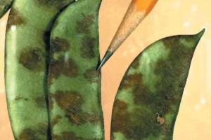 Colletotrichum lindemuthianum