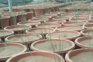The growth conditions of Haloxylon ammodendron seedlings before treatments. Photo credit: Yao Zhang