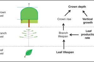 Determinants of crown depth at three organizational levels.