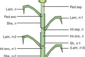 Botanical description of the culm structure of wheat as implemented in the model.