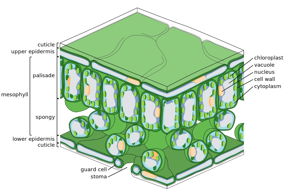 The fine scale structure of a leaf featuring the major tissues; the upper and lower epithelia (and associated cuticles), the palisade and spongy mesophyll and the guard cells of the stoma.