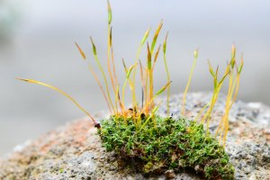 A bit of moss, showing both the gametophyte and sporophyte forms.