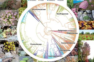 A phylogenetic tree for species of Saxifragales with a reconstruction of habitat evolution using SIMMAP (see key for colours)