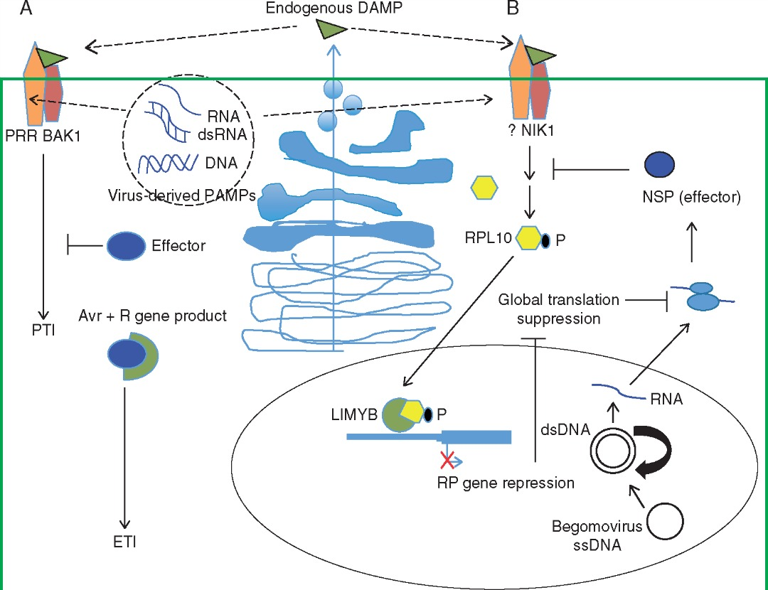 Antiviral innate immunity in plants.