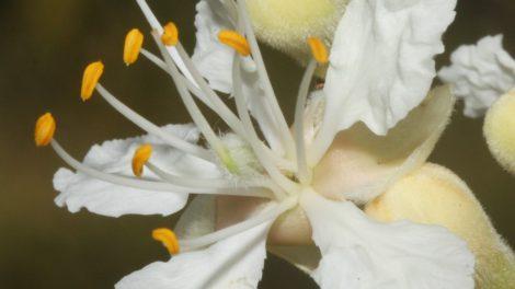 Goniorrhachis marginata