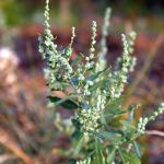 henopodium berlandieri at Wind Cave National Park, South Dakota, USA