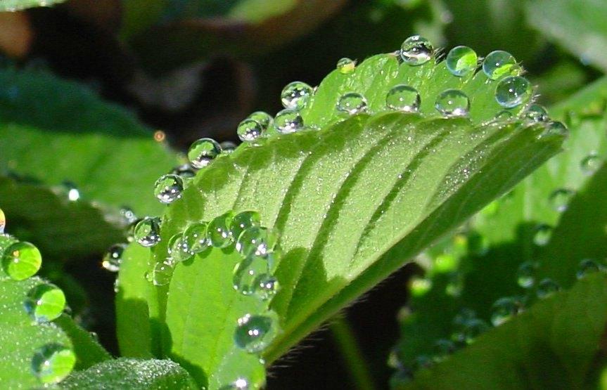 Guttation on a Strawberry leaf