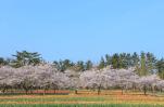 長崎県の桜の開花宣言や見頃となる満開宣言の時期はいつ?標本木の場所はどこ?アクセス方法を紹介!