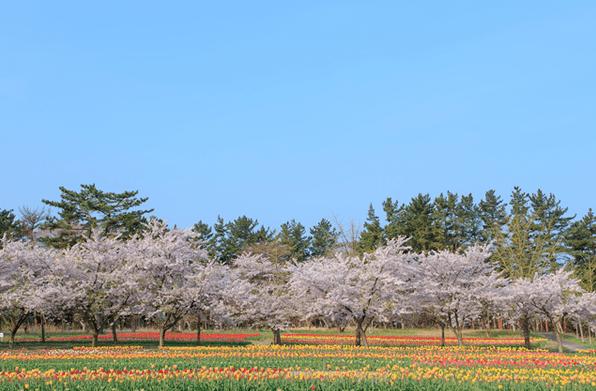 長崎県の桜の開花予想や見頃となる満開予想時期はいつ?標本木の場所はどこ?アクセス方法を紹介!