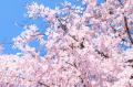 桜の開花宣言の基準となる標本木とは?標本木の選び方や開花宣言の基準はなに?誰が標本木を選んでいるの?
