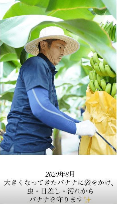 2020年8月 大きくなってきたバナナに袋をかけ、虫・日差し・汚れからバナナを守ります・946FARMS(クシロファームズ)の946BANANA(クシロバナナ)の成長の記録