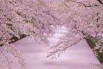 さくら 青森県・弘前公園 わずかな期間しか見られない「桜の絨毯」の魅力❣2016