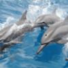 青森・陸奥湾に約100頭のカマイルカの群れ 船の周りに姿現す:動画見る?