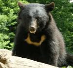 クマに注意!青森のクマ情報まとめ2016!対策は?