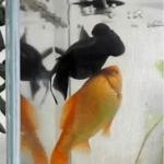 泳げない出目金を支える「まるで介護金魚だね」と驚く!