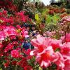 青森・大鰐・茶臼山公園で「ツツジの花」が鮮やかです!