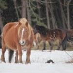 AOMORI 下北半島の尻屋崎で春を待つ「寒立馬」