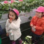 八戸・南郷「観光農園ハウスに真っ赤なイチゴ」開園!2019年1月9日