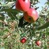 青森県八戸市「南郷観光農園」「りんご狩り体験」開催!期間:2019年10月12日~11月17日